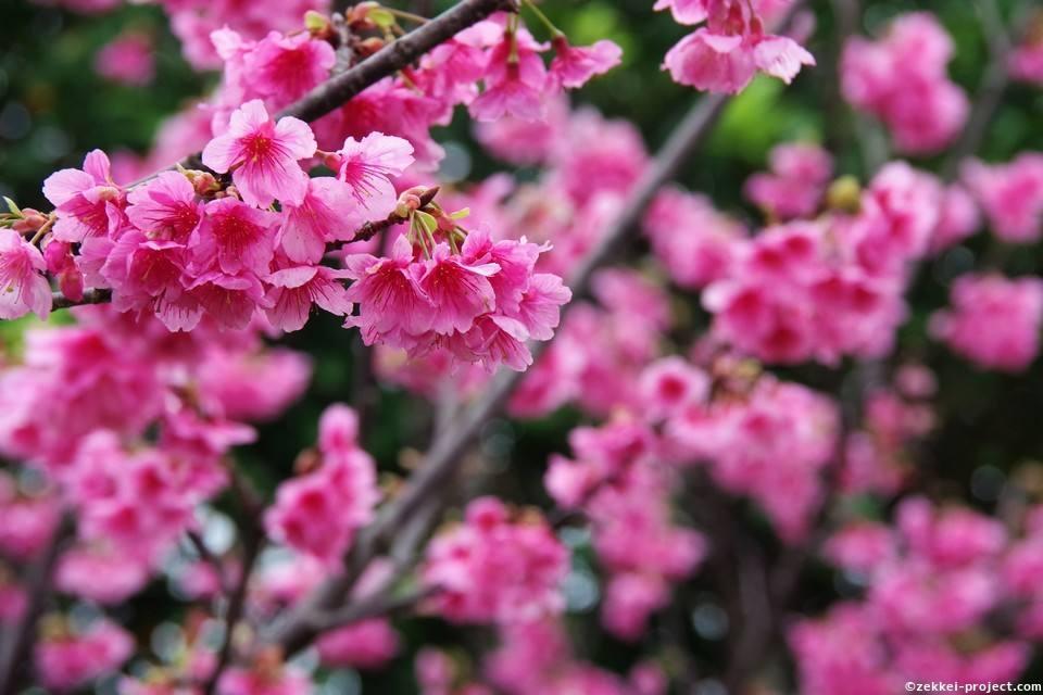 沖縄に咲く桃色の桜!   死ぬまでに行きたい!世界の絶景